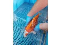 Orange jap kojaka koj