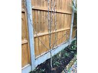 Pear tree (bearing fruit)