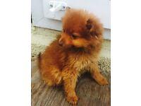 Girl Pomeranian