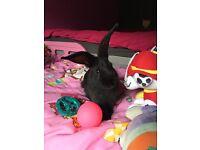 Black female rabbit 4-5 months old