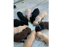 Lab/Retriever puppies for sale