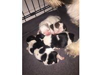 Shih tzu puppy's looking for forever home