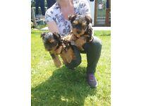 Minature yorkshire terrier puppies