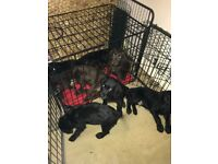 Gorgeous Labradoodle Puppies For Sale