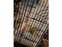 4 budgie birds