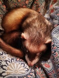Beautiful 2 year old ferret looking for a nice home