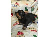 2 dachshund puppys for sale