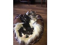 2 Black & 1 White Male Kittens for Sale! Litter Trained and Nice Nature :)