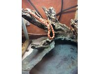 Corn snake with large cabinet and accessories