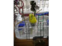 Budgie witg cage