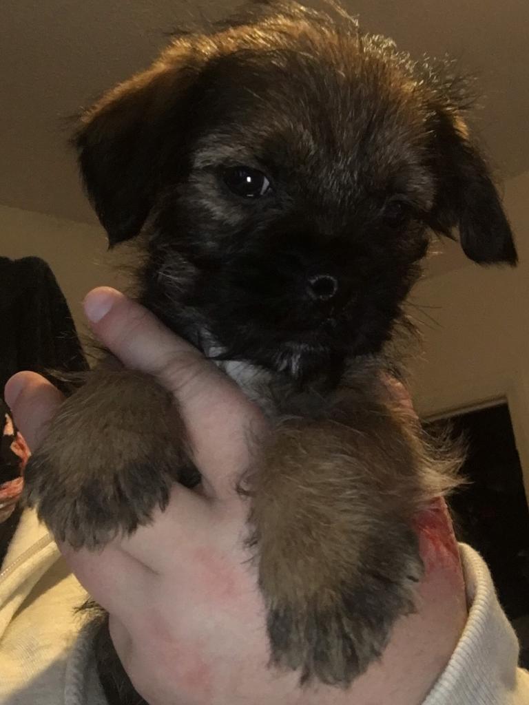 Cracking litter of KC Border terrier pups | in Kingsteignton, Devon ... | Border Terrier Puppies For Sale Devon Cornwall