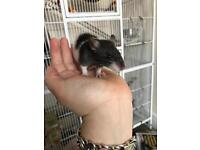 Baby male rats
