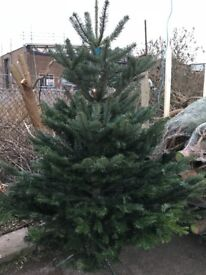 Real Christmas Trees - FREE DELIVERY IN BRIGHTON AND SURROUNDING AREAS