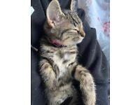 9 week Old Kitten needing Rehomed