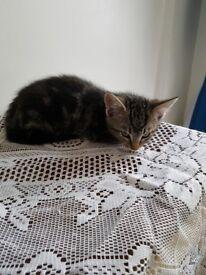 Beautiful Boy Kitten to go