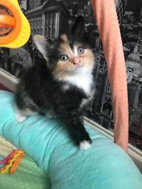 Gorgeous unique multicoloured kitten!