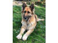 Rottweiler cross German Shepard puppy