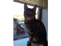 Free to a good home - Female tabby cat, 14 month old, spayed, vacs & microchipped