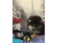 Amazing Pomeranian Puppies Available