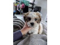 Shihchon puppy