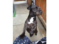 patterdale terrier 3 years old