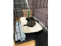 Lovely little puppy for sale - Chorkie x