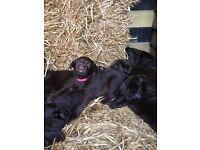 Kennel Club Registered Chocolate Labrador Puppies