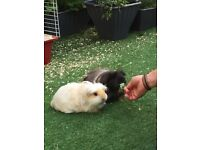 Rehoming 2 male Guinea pigs