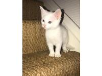 3persian X kittens left ready to find there forever homes