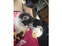 2 black and white kittens SOLD