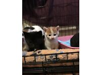 8 week old male ginger kitten