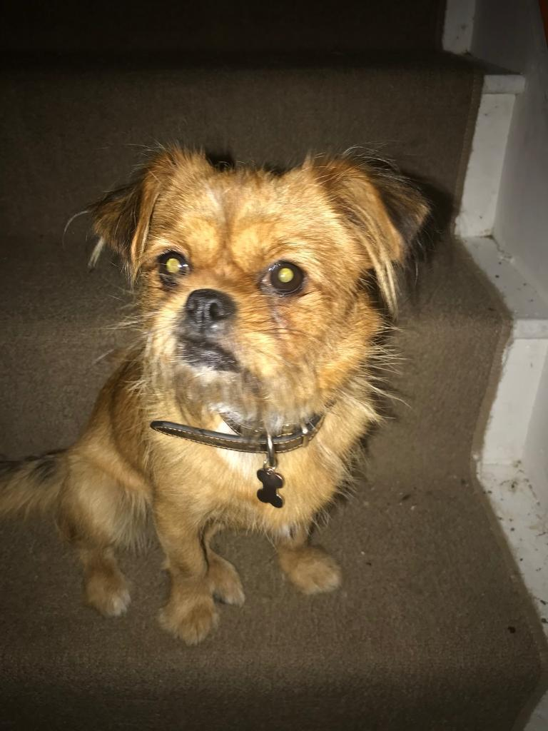 12 month old female shih tzu cross £175