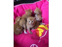 GINGER KITTENS!! 2 boys 1 girl
