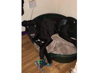 Cane corso black Italian bull mastiff 8 months