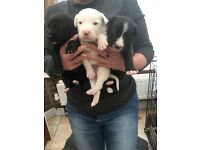 Beautiful Bearded collie cross puppies