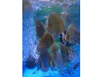 small to medium discus for sale