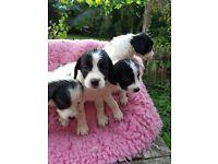labrador/spaniel puppies