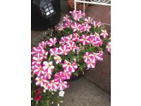Strawberry and cream flowers in pot