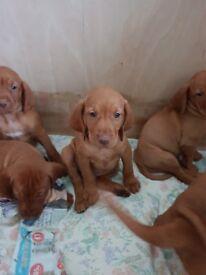 Hungarian Vizsla puppies £1000