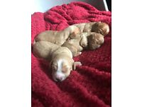 F2 Cavapoo puppies