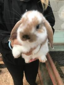 Mini Lop Baby Rabbits - Ready now