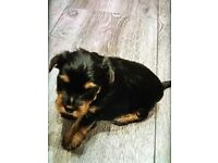 I have 2 female puppies york shire terrier for sale!!!