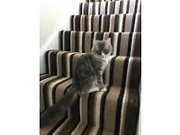 Chinchilla Persian x cat for sale