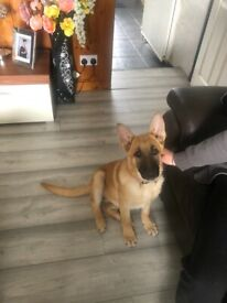 German Shepard pup 4 months old bitch
