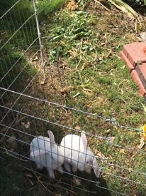 Rabbits for sale. Mother and two infants