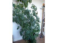 Umbrella Plant Large