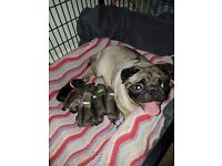 PEDIGREE PUG PUPPYS 3 GIRLS 3 BOYS READY JANUARY
