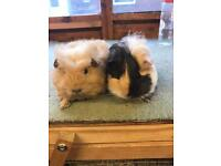 Long haired baby boy guinea pigs for sale