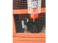 Two female rabbits 9 months old with hutch and run