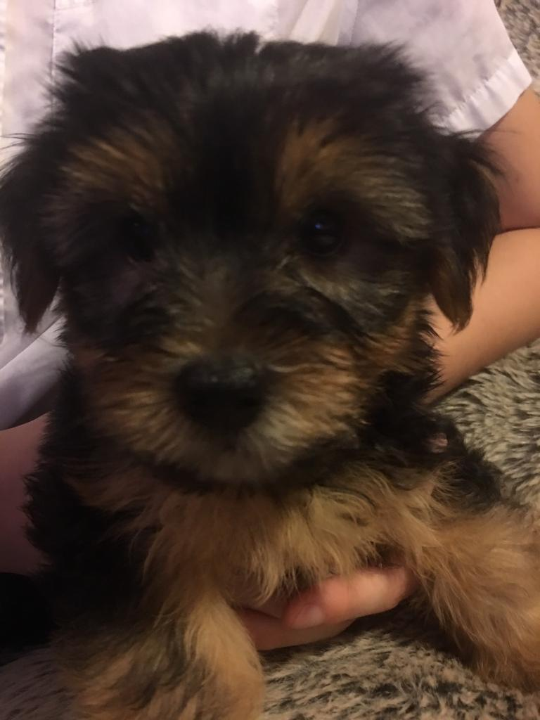 Yorkshire Terriers Boys For Sale 400 In Leicester Leicestershire Gumtree